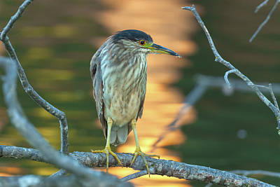 Photograph - Black-crowned Night Heron 2 by Jonathan Nguyen