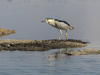Photograph - Black-crowned Night Heron 2017-2 by Thomas Young