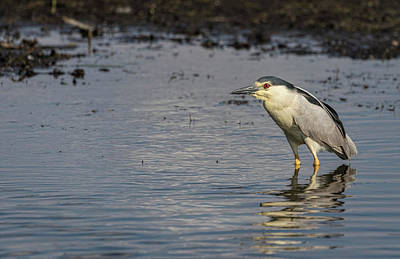 Photograph - Black-crowned Night Heron 2017-3 by Thomas Young