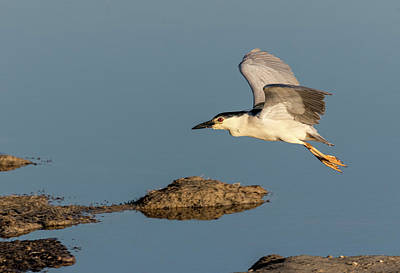 Photograph - Black-crowned Night Heron 2017-4 by Thomas Young