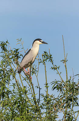 Photograph - Black-crowned Night Heron 2017-5 by Thomas Young