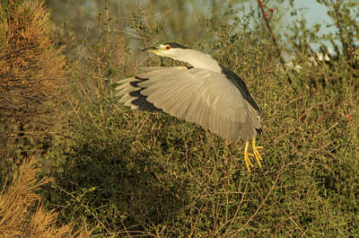 Photograph - Black-crowned Night Heron 2890-012318-1cr by Tam Ryan