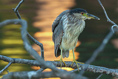 Photograph - Black-crowned Night Heron 3 by Jonathan Nguyen