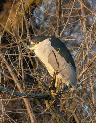 Photograph - Black Crowned Night Heron At Sunset by Loree Johnson