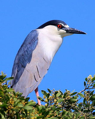 Photograph - Black Crowned Night Heron Atop Tree by Wingsdomain Art and Photography