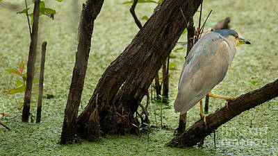 Photograph - Black-crowned Night-heron by Brad Marzolf Photography