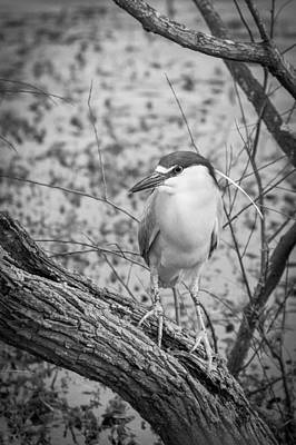 Photograph - Black Crowned Night Heron - Bw by Joye Ardyn Durham
