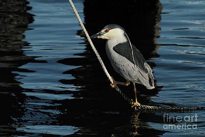 Photograph - Black-crowned Night Heron by California Views Mr Pat Hathaway Archives
