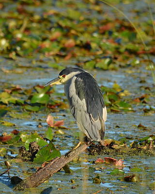 Photograph - Black -crowned Night Heron by Carla Parris