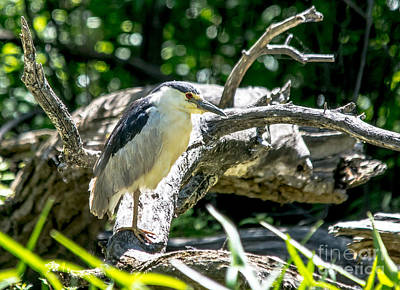 Photograph - Black Crowned Night Heron by Cheryl Baxter