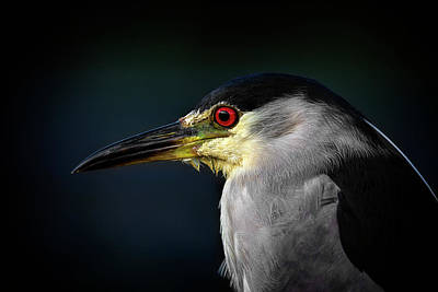 Photograph - Black Crowned Night Heron by Cyndy Doty