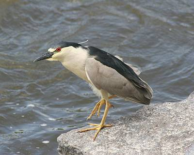 Print featuring the photograph Black-crowned Night Heron by Doris Potter