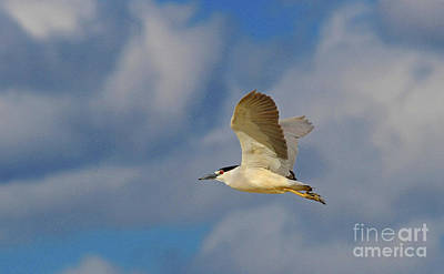Photograph - Black-crowned Night-heron by Gary Wing