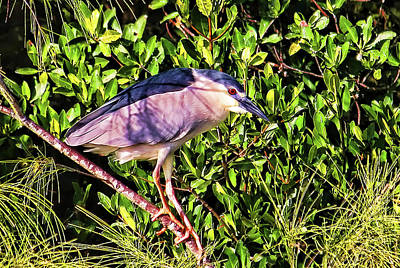 Photograph - Black-crowned Night Heron by HH Photography of Florida