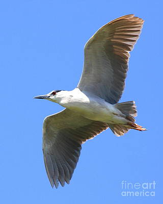 Bif Photograph - Black Crowned Night Heron In Flight . 40d7892 by Wingsdomain Art and Photography