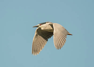 Photograph - Black Crowned Night Heron In Flight by Loree Johnson