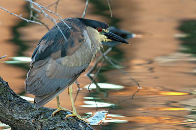 Photograph - Black-crowned Night Heron by Jonathan Nguyen