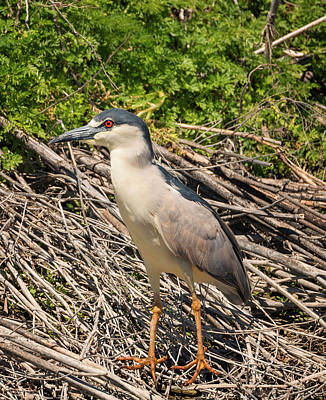 Photograph - Black Crowned Night Heron by Loree Johnson