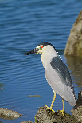 Photograph - Black-crowned Night Heron by Mark Miller