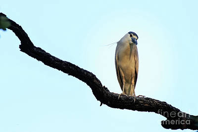Photograph - Black Crowned Night Heron Mimics Parrot by Richard Smith