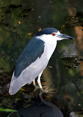 Photograph - Black Crowned Night Heron by Nicholas Blackwell