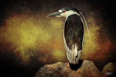 Black-crowned Night Heron Night Vision Art Print by John Williams