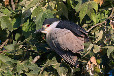 Photograph - Black-crowned Night Heron Portrait by Kathleen Bishop