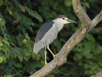 Photograph - Black-crowned Night Heron by Robert Papps