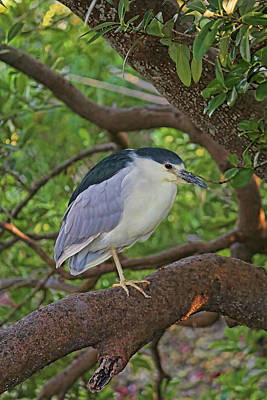 Photograph - Black-crowned Night Heron Vertical by HH Photography of Florida