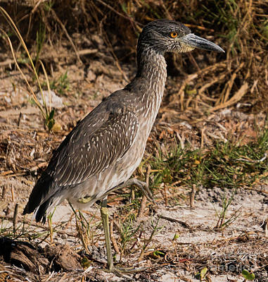 Photograph - Black Crowned Night Heron by Vincent Billotto