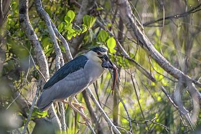 Photograph - Black Crowned Night Heron With Fish by Framing Places