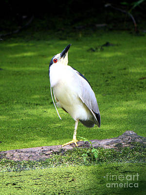 Photograph - Black Crowned Night Heron Yoga Pose by Heather King