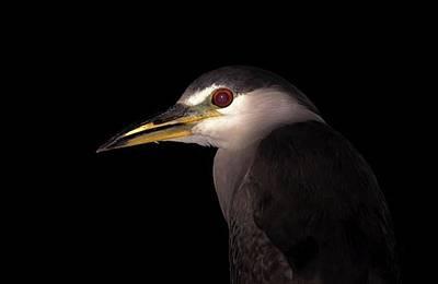 Ornithology Photograph - Black-crowned Night-heron ➖➖➖ by Hsa Htaw