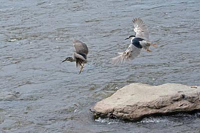 Black-crowned Night-herons In-flight Over The River Art Print