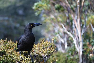 Photograph - Black Currawong by Nicholas Blackwell