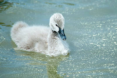 Photograph - Black Cygnet by Cathie Crow