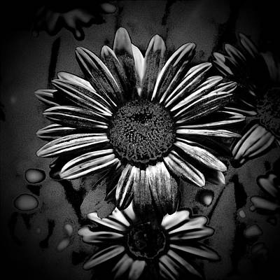 Photograph - Black Daisy by Phyllis Taylor