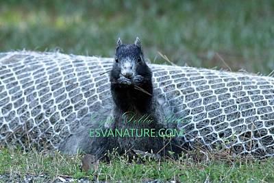 Photograph - Black Delmarva Fox Squirrel 3 by Captain Debbie Ritter