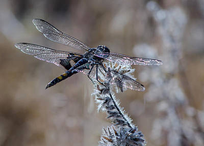 Metal Dragonfly Photograph - Black Dragonfly 2 by Rick Mosher