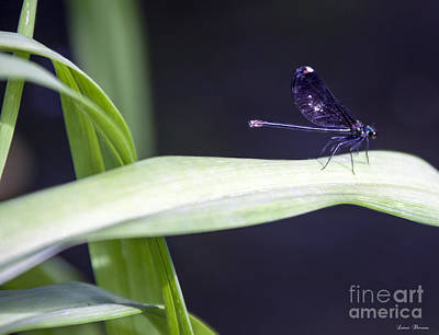 Preditory Photograph - Black Dragonfly On Lily Leaf by Lance Theroux