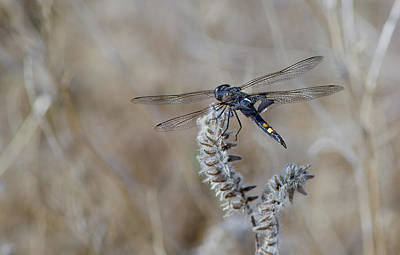 Photograph - Black Dragonfly by Rick Mosher