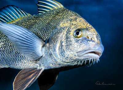 Dan Beauvais Royalty-Free and Rights-Managed Images - Black Drum 4947 by Dan Beauvais