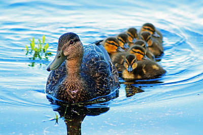 Black Duck Brood Art Print