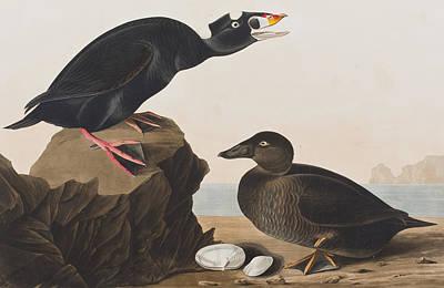 Black Duck Or Surf Duck Art Print by John James Audubon
