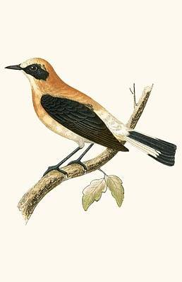 Flycatcher Painting - Black Eared Wheatear by English School