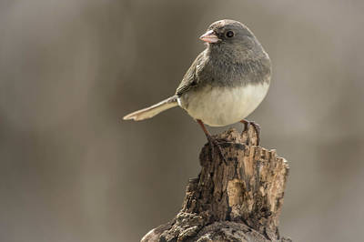 Photograph - Black Eyed Junco Portrait by Bruce Pritchett