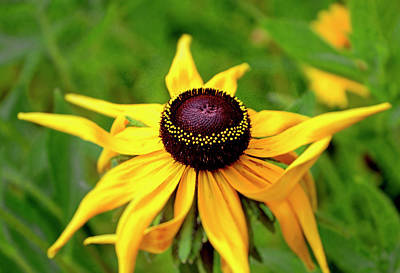 Photograph - Black Eyed Susan 010 by George Bostian