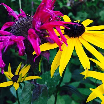 Photograph - Black Eyed Susan And Monarda by Cristina Stefan