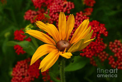 Black-eyed Susan And Yarrow Print by Steve Augustin