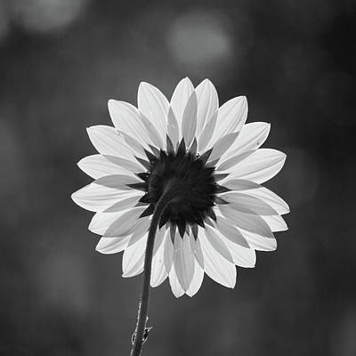 Photograph - Black-eyed Susan - Black And White by Stephen Holst